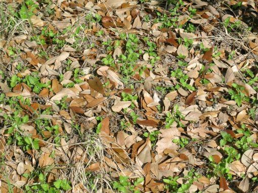 LO leaf litter