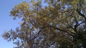 silver-leaf oak cu